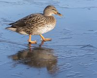 A female mallard duck walking on ice : Southampton Common. A female mallard duck walking on frozen ice on the Ornamental Pond, Southampton Common, Hampshire, UK Royalty Free Stock Photos