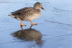 A female mallard duck walking on ice : Southampton Common. A female mallard duck walking on frozen ice on the Ornamental Pond, Southampton Common, Hampshire, UK Stock Images