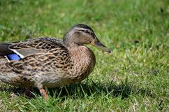 Female mallard duck walking on green grass in summer Stock Photos