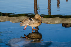 Female Mallard Duck walking on ice. On the frozen river Havel in Berlin, Germany Stock Photos