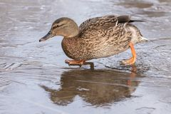 A female mallard duck walking on ice at the Ornamental Lake on Southampton Common stock images