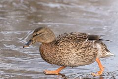 A female mallard duck walking on ice at the Ornamental Lake on Southampton Common stock photo