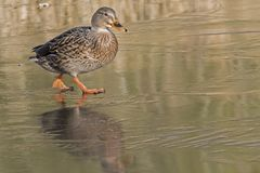 A female mallard duck walking on ice : Southampton Common. A female mallard duck walking on frozen ice on the Ornamental Pond, Southampton Common, Hampshire, UK Stock Photography