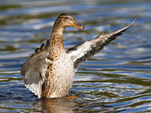 Female Mallard Duck washing her feathers Royalty Free Stock Images