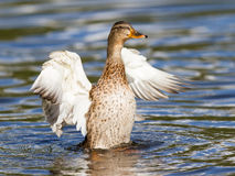 Female Mallard Duck washing her feathers Stock Image