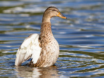 Female Mallard Duck washing her feathers Stock Photo