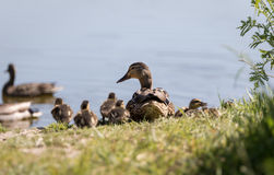 Female Mallard Duck Watching Over Her Ducklings. On the Shore of a Pond Stock Photography