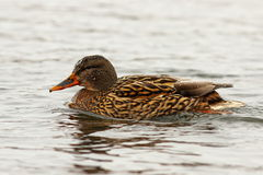 Female mallard duck on water surface. Female mallard duck swimming on water surface  Anas platyrhynchos Stock Image