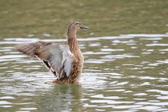 Female Mallard duck with spreading wings. Female Mallard Duck with wide wings in a lake. The wings splash water drops Stock Images