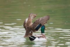 Female Mallard duck with spreading wings. Female Mallard Duck with wide wings in a lake. The wings splash water drops Royalty Free Stock Images