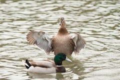 Female Mallard duck with spreading wings. Female Mallard Duck with wide wings in a lake. The wings splash water drops Stock Image