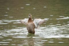 Female Mallard duck with spreading wings. Female Mallard Duck with wide wings in a lake. The wings splash water drops Royalty Free Stock Photography