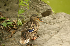Female mallard duck (wild duck) standing on small rock next to g. Portrait of female mallard duck (wild duck) standing on small rock next to green pond Royalty Free Stock Photos