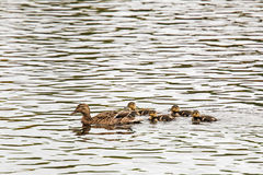 Female mallard duck with young. Female mallard duck protecting her young, River Dee, Scotland Royalty Free Stock Image