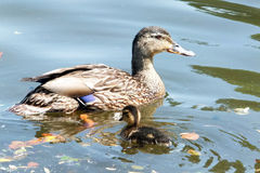 Female Mallard and Duckling. Swimming Royalty Free Stock Image
