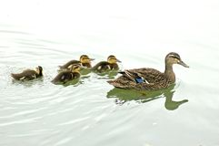 Female mallard with ducklings Stock Images