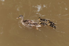 Female Mallard with ducklings. A female Mallard with ducklings on a brown water surface Stock Photos