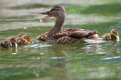 Female mallard with ducklings. Female mallard duck quacking ( anas platyrhtnchos ) with small cute ducklings on lake surface Stock Images