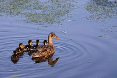 Female Mallard with ducklings. Female Mallard swimming with her young Stock Image