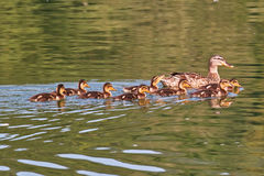 Female mallard with ducklings. Female mallard swimming with its ducklings Royalty Free Stock Photography