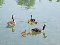 Female Mallard Ducks and Baby Ducks on the Lake, Salzburg. Austria Royalty Free Stock Photography