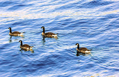Female mallard ducks floating in the lake in a trapezoidal pattern. The Mallard or Wild Duck (Anas platyrhynchos) is a dabbling duck which breeds throughout the Royalty Free Stock Photos