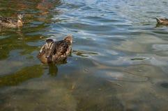 Female Mallard Ducks. Flock of female mallard ducks swimming on a summer lake Stock Image