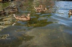 Female Mallard Ducks. Flock of female mallard ducks swimming on a summer lake Stock Photography