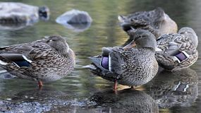 Female Mallard Ducks by the Lake. Female Mallard Duck Hens by the Lake in Oregon Royalty Free Stock Photos