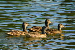 Female Mallard ducks swimming in pond. Tranquil water Royalty Free Stock Photography