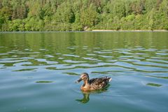 Female mallard. In the green lake, Vilnius, Lithuania Royalty Free Stock Photography