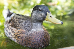 Female mallard floating on the water Stock Photography