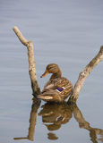 Female Mallard framed by branches Royalty Free Stock Photo