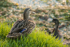 Female mallard on fresh grass. Close up of female mallard on fresh grass Stock Photo