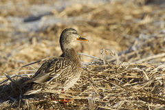 Female Mallard. Stock Image