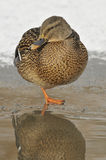 Female Mallard on frozen Duck Pond. Anas platyrhynchos Stock Images