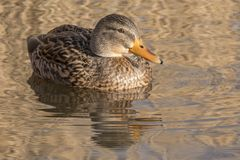 A female mallard duck on the Ornamental Pond Southampton Common Royalty Free Stock Photo
