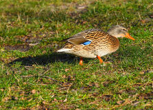 Female mallard on the grass Stock Photos