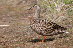 Female Mallard in the Grass sunning itself Royalty Free Stock Photography