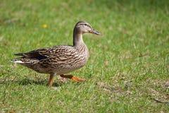 Female Mallard in the Grass sunning itself Stock Photography