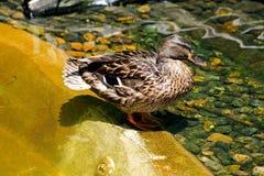 Female mallard, green headed duck. One female mallard or green headed duck, scientific name as Anas platyrhynchos, on a rock at san diego zoo, San Diego Stock Image