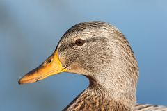 Female mallard head stock images