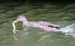Female Mallard. Hungry female Mallard, swimming in the canal and eating a piece of bread Stock Photo