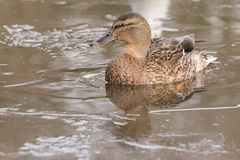 A female mallard in the ice at the Ornamental Lake at Southampton Common stock photography