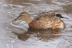 A female mallard in the ice at the Ornamental Lake at Southampton Common royalty free stock images
