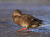 A female Mallard on icy river Stock Photo