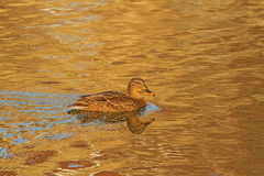 A female Mallard on icy river Royalty Free Stock Image