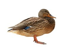Female mallard isolated over white. Female wild mallard duck  isolated over white background Royalty Free Stock Images