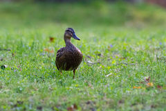 Female Mallard Meadow Stock Image