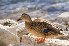 Female mallard, mottled wild duck, with brown speckled plumage a Royalty Free Stock Photo